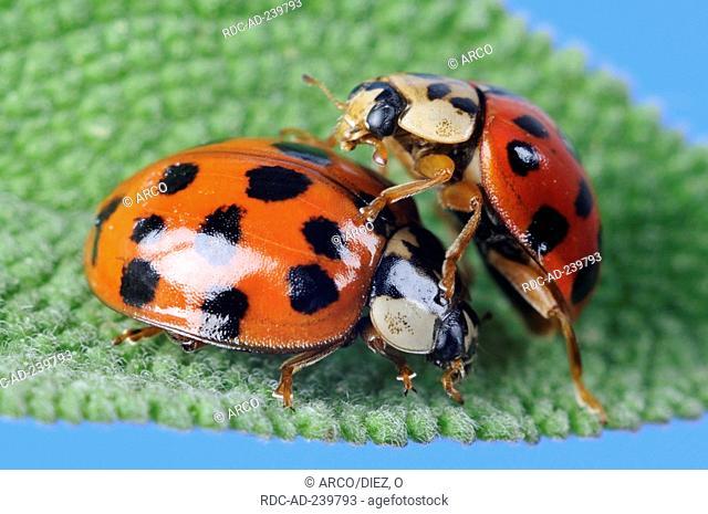 Asian Lady Beetle / Harmonia axyridis