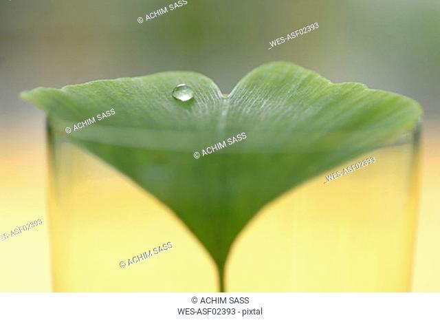 Ginkgo biloba in glass with water drop