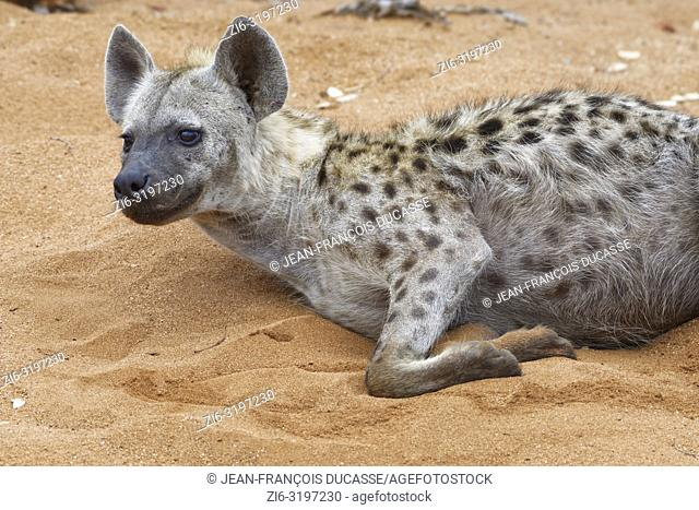 Spotted hyena (Crocuta crocuta), adult male lying on sand, alert, early in the morning, Kruger National Park, South Africa, Africa