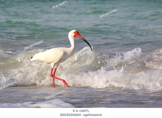 white ibis (Eudocimus albus), searching food in the drift line in front of the breaking of the waves, USA, Florida, Westkueste, Tampa