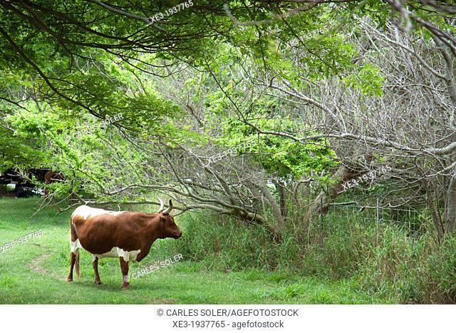 Cow grazing, Oahu, Hawaii
