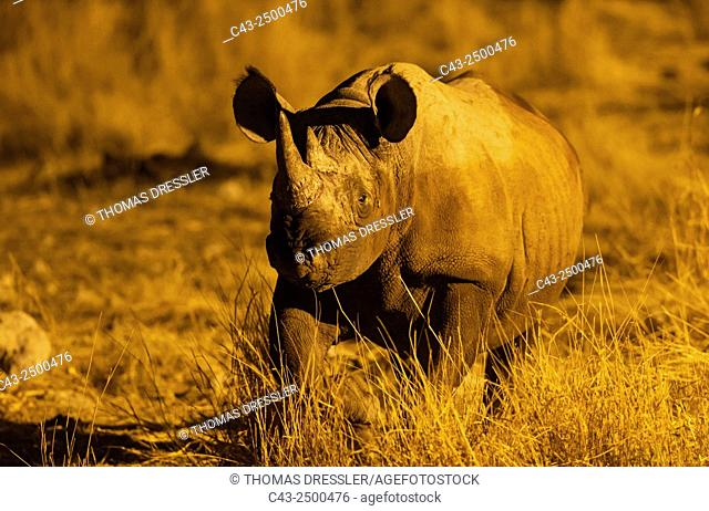Black Rhinoceros (Diceros bicornis) - Also called Hook-lipped Rhinoceros. Bull at night in the vicinity of the floodlit waterhole of the Okaukuejo Camp