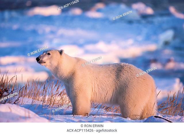 Polar Bear (Ursus maritimus) on the coast of Hudson Bay at the Seal River estuary (near Churchill), Manitoba