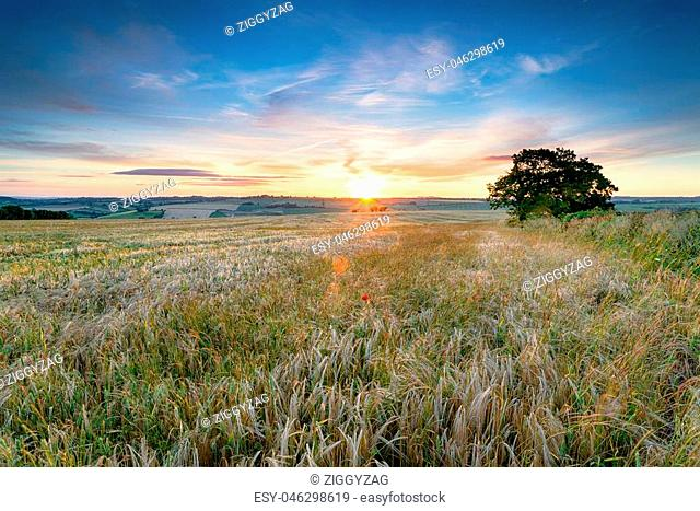 Stunning sunset over farm fields of ripe barley in the Somerset countryside near Faulkland