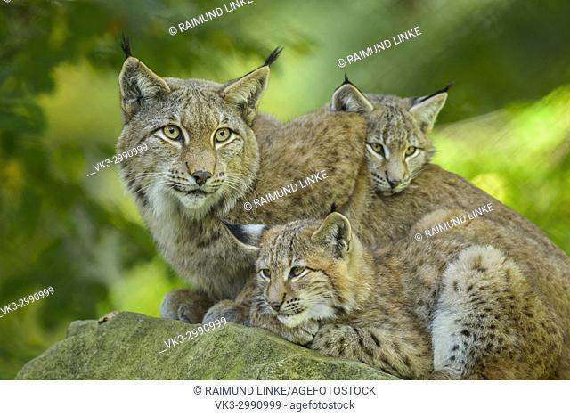 Eurasian Lynx, Lynx lynx, Female with Two Kittens, Germany, Europe
