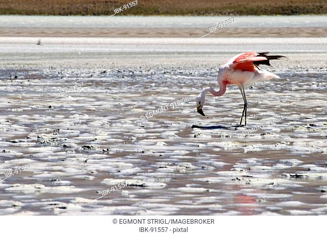 Andean flamingo (lat.: phoenicoparrus andinus) at Laguna Onda, Bolivia