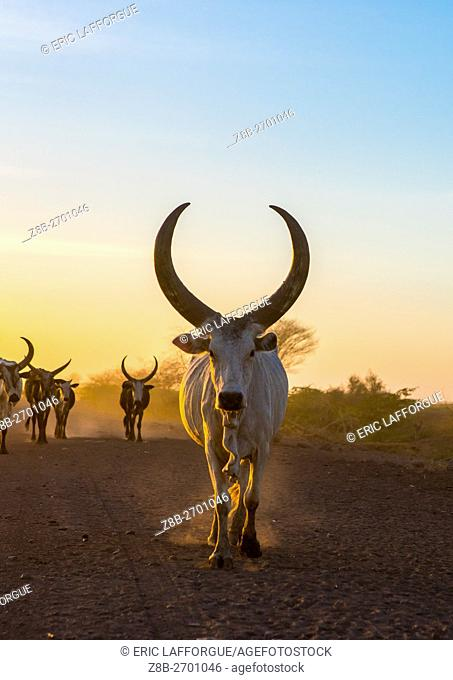 Ethiopia, Afar Region, Afambo, herd of cows on a dusty track in the sunset