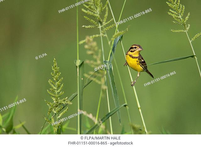 Yellow-breasted Bunting (Emberiza aureola) adult male, winter plumage, perched on grass stem, Long Valley, New Territories, Hong Kong, China, November