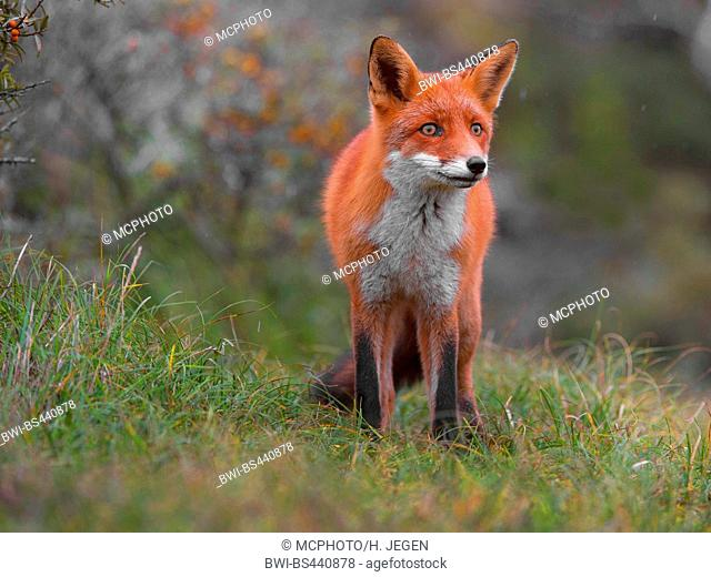 red fox (Vulpes vulpes), fixating, Germany, Lower Saxony