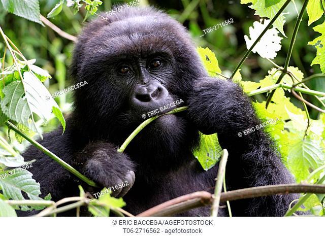 Female Mountain gorilla feeding in forest (Gorilla beringei beringei) Virunga National Park, Democratic Republic of Congo, Africa