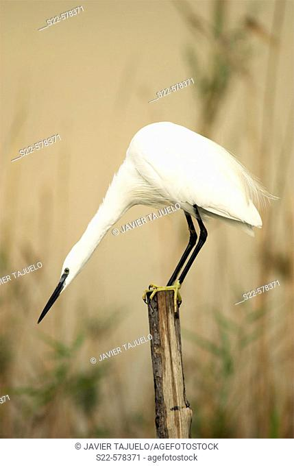Little Egret (Egretta garzetta). La Albufera National Park, Comunidad Valenciana, Spain
