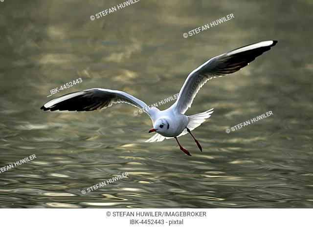Black-headed gull (Larus ridibundus) in flight above water, Lake Zug, Canton of Zug, Switzerland