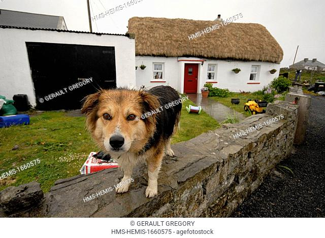Ireland, County Galway, Aran Islands, Inishmore, dog in the rain, cottage