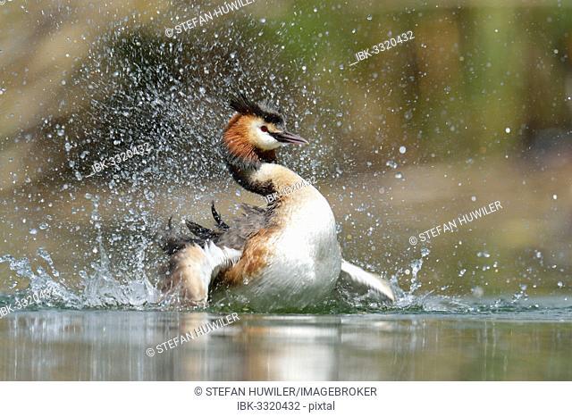 Great Crested Grebe (Podiceps cristatus), preening, Lake Lucerne, Luzern, Canton of Lucerne, Switzerland