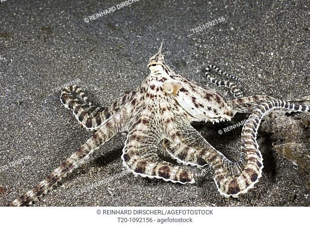 Mimic Octopus, Thaumoctopus mimicus, Lembeh Strait, North Sulawesi, Indonesia