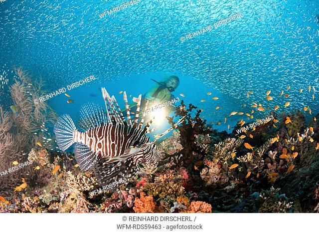 Lionfish at Coral Reef, Pterois miles, Maya Thila, North Ari Atoll, Maldives