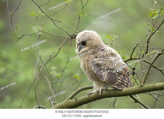 Tawny Owl / Waldkauz ( Strix aluco ), cute fledgling, chick, perched on a branch, expecting food, dark brown eyes wide open, side view