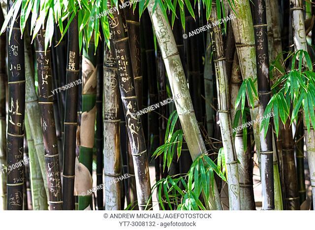 Bamboo at Sydney Botanical gardens, New South Wales, Australia