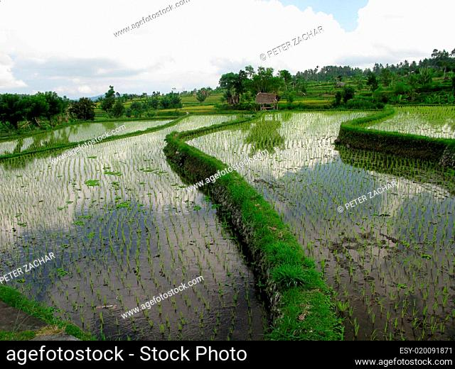 Rice field, asia