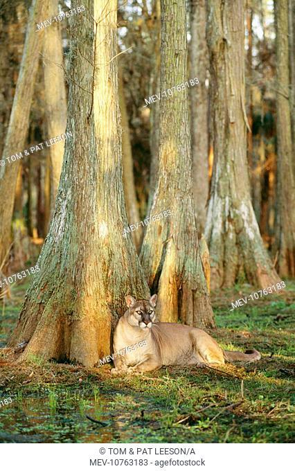 Florida COUGAR / Mountain Lion / Puma (Felis concolor coryi)