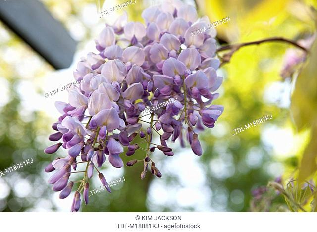Wisteria flowers hanging from a pergola