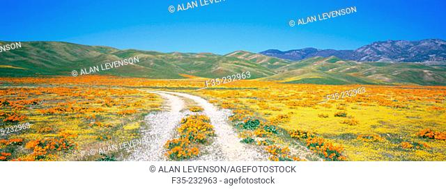 Dirt road with poppies and wildflowers in springtime. Southern California. USA