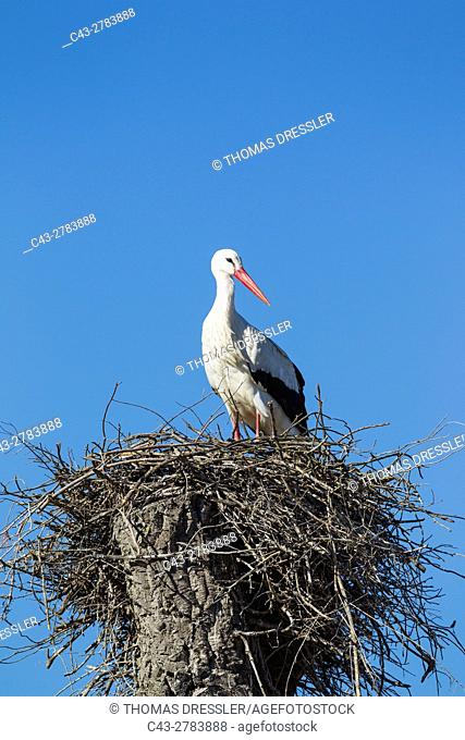 White Stork (Ciconia ciconia). On the nest, waiting for the arrival of its mate. Doñana National Park, Huelva province, Andalusia, Spain