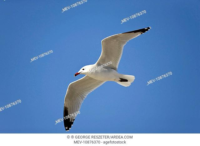 Audouins Gull - adult summer gull - in flight (Larus audouinii). Majorca April. Rare