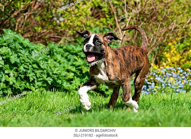 Boxer. Puppy (9 weeks old) running on a lawn. Germany