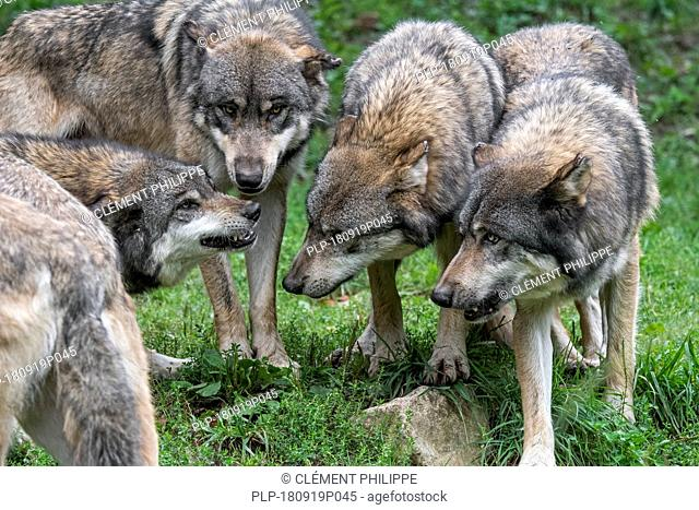 Subordinate grey wolf (Canis lupus) with flattened ears snarling with bared canines at wolf pack members