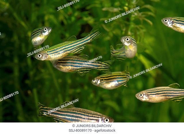 DEU, 2009: Zebra Danio, Zebrafish (Brachydanio rerio, Danio rerio), swarm in an aquarium