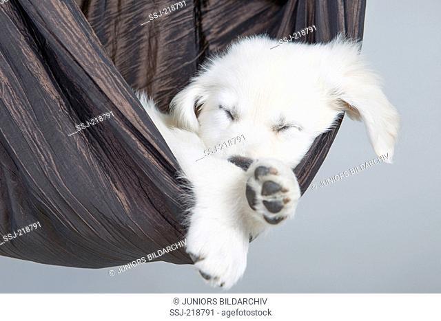 Golden Retriever. Puppy (4 weeks old) sleeping in a hammock, Germany