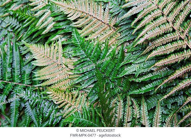 Dryopteris, Fern - Buckler fern