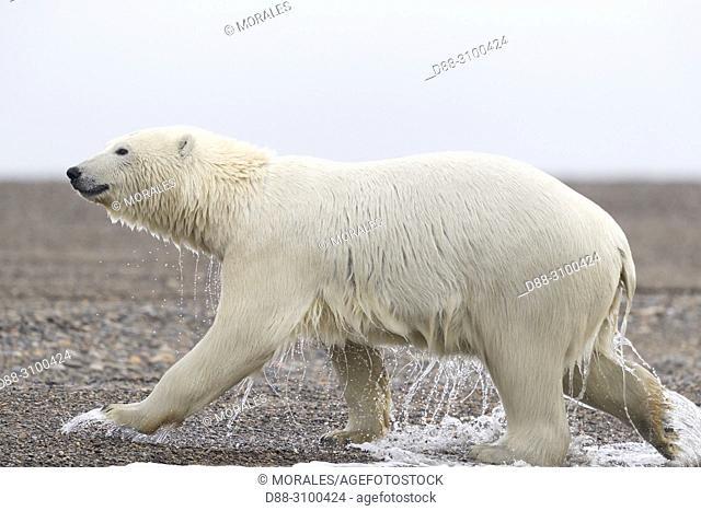 United States, Alaska, Arctic National Wildlife Refuge, Kaktovik, Polar Bear( Ursus maritimus ), going of the water along a barrier island outside Kaktovik