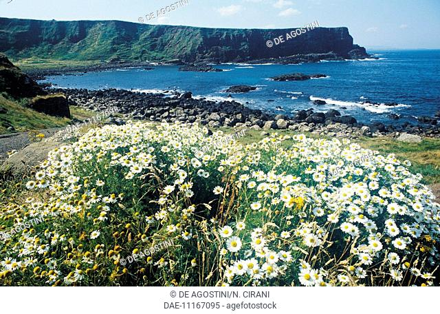 The coastline around the Giant's causeway, outcrop of columnar basalt formations (Unesco World Heritage Site, 1986), Northern Ireland, United Kingdom