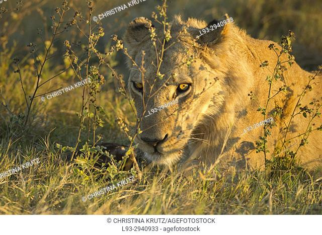 African lion (Panthera leo). Okavango Delta, Botswana, Africa