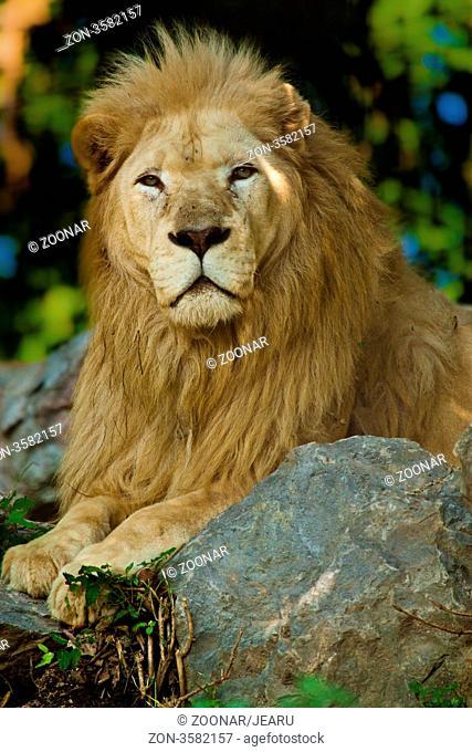 Transvaal-Loewe Panthera leo krugeri