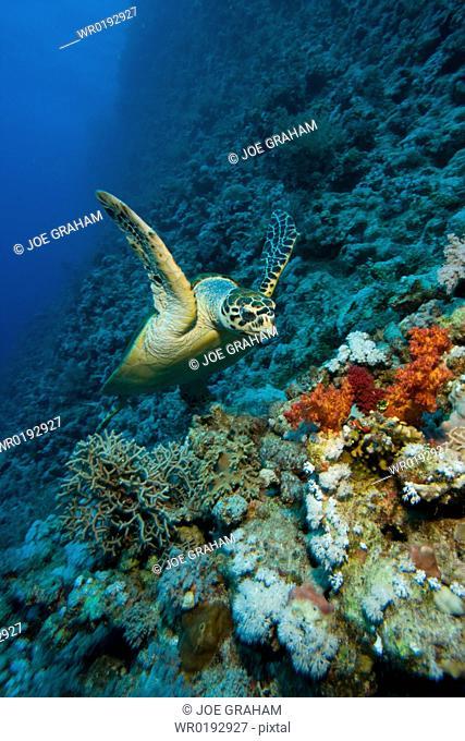Hawksbill turtle Eretmochelys imbricata swimming along a reef wall Red Sea Egypt
