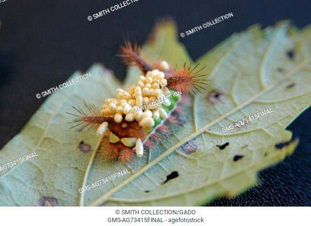 A saddleback catepillar covered in braconid wasp cocoons, Fairfax, Virginia. Image courtesy Thomas A. Hermann/USGS. 2014