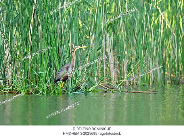 Romania, Danube Delta listed as World Heritage by UNESCO, Purple Heron (Ardea purpurea) on the prowl in the reeds at the edge of a river channel