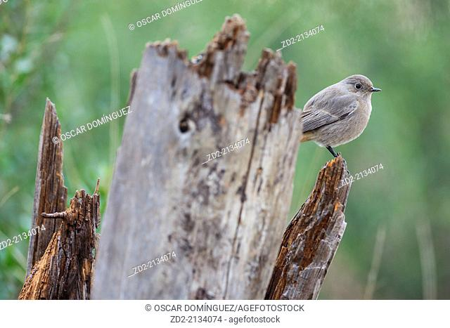 Black Redstart (Phoenicurus ochruros) female perched on a post. Albufera Natural Park. Valencia Community. Spain
