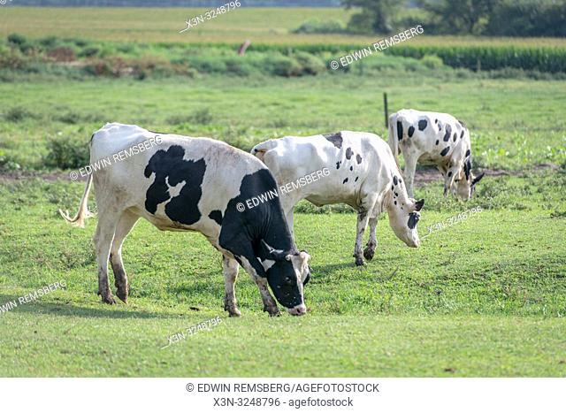 Holstein cattle grazing green grasses in field, Pokomoke, Maryland