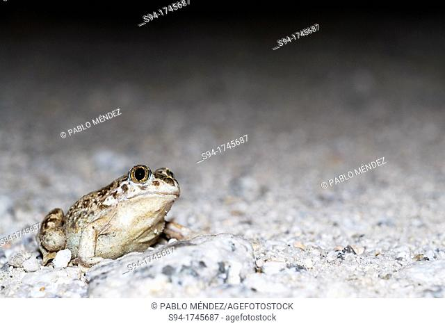 Young spadefoot toad Pelobates cultripes in a pond of Valdemanco, Madrid, Spain