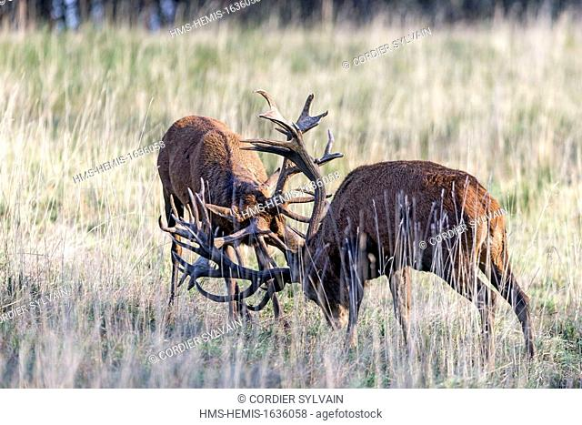 France, Haute Saone, Private park, Red Deer (Cervus elaphus), two stags, fighting, during rutting season