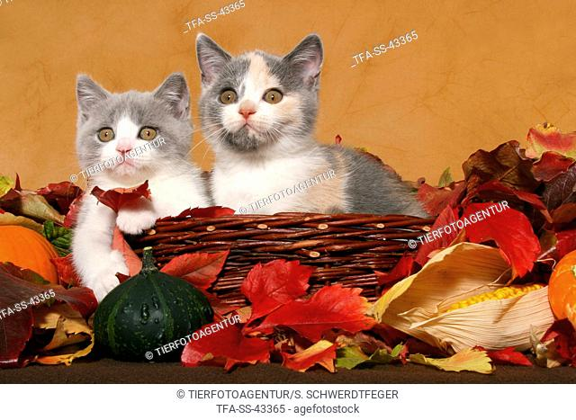 2 British Shorthair Kitten