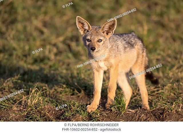 Black-backed Jackal (Canis mesomelas) cub, standing in savannah, Masai Mara National Reserve, Kenya, August