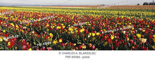 Tulip Field Willamette Valley OR