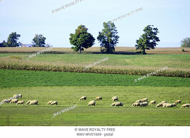 Sheep grazing in a field of grass, North Dumfries, Ontario