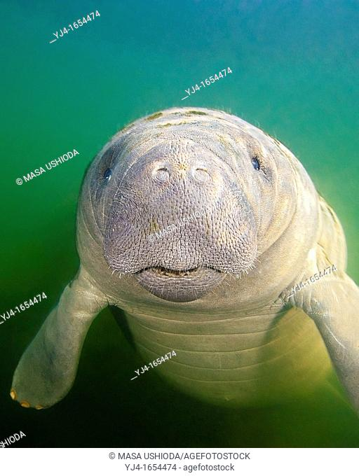 Florida manatee, Trichechus manatus latirostris, calf with neonatal folds and still prominent navel, endangered subspecies of the West Indian manatee, Kings Bay