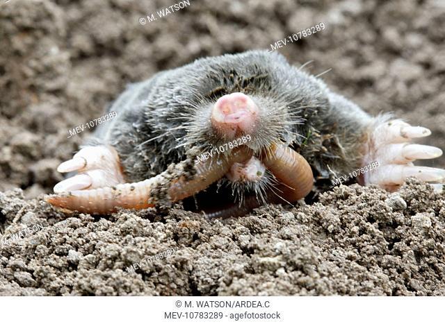 Mole - eating worm. (Talpa europaea)